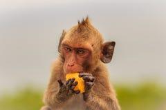 长尾的短尾猿或螃蟹吃短尾猿(猕猴属fascicularis) 免版税库存图片
