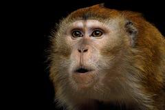 长尾的短尾猿或螃蟹吃短尾猿 免版税库存图片