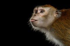 长尾的短尾猿或螃蟹吃短尾猿 库存图片