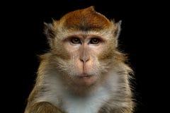 长尾的短尾猿或螃蟹吃短尾猿 库存照片