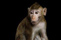 长尾的短尾猿或螃蟹吃短尾猿 免版税库存照片