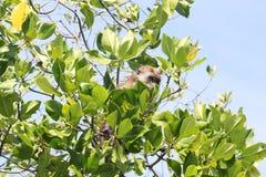 长尾的短尾猿,掩藏在树之间的猴子离开,凌家卫岛 免版税库存图片