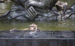 长尾的短尾猿,有的猴子在一个水池的一浸泡为从热的夏天,全球性变暖放松 免版税库存图片