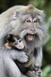 长尾的短尾猿,猕猴属fascicularis 库存图片