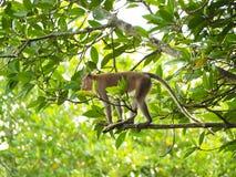 长尾的短尾猿,螃蟹吃短尾猿 库存照片
