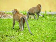 长尾的短尾猿,螃蟹吃短尾猿 库存图片