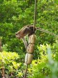 长尾的短尾猿,螃蟹吃短尾猿 免版税库存照片
