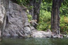长尾的短尾猿,跳从岩石山的上面的猴子的运动播放在一个水池的水为从热的夏天放松 免版税库存照片