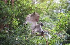 长尾的短尾猿,选址在一个绿色树枝,光线影响的猴子增加 免版税库存照片