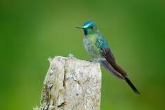长尾的空气的精灵,与长的蓝色尾巴在自然栖所,哥伦比亚的蜂鸟 从热带自然的野生生物场面 绿色鸟 库存图片