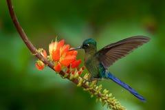 长尾的空气的精灵, Aglaiocercus kingi,从哥伦比亚,在美丽的橙色花, acti旁边的gree蓝色鸟飞行的罕见的蜂鸟 免版税库存图片
