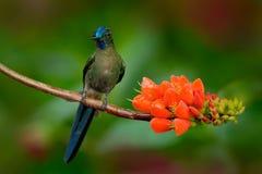 长尾的空气的精灵, Aglaiocercus kingi,从哥伦比亚, gree蓝色鸟坐一朵美丽的橙色花,行动的罕见的蜂鸟 图库摄影