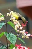 长尾的长尾缝叶鸟 库存照片