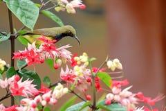 长尾的长尾缝叶鸟 免版税库存照片