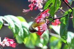 长尾的长尾缝叶鸟 免版税库存图片