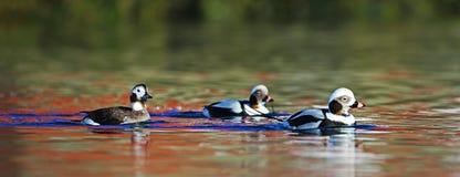长尾的鸭子和不可思议的反射在水 库存图片