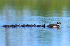 长尾的鸭子游泳家庭在Y的一个夏日 免版税库存照片