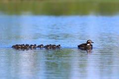 长尾的鸭子游泳家庭在Y的一个夏日 库存图片