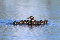 长尾的鸭子游泳家庭在Y的一个夏日 图库摄影