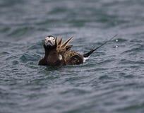 长尾的鸭子 免版税图库摄影