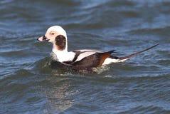 长尾的鸭子(Oldsquaw)游泳 免版税图库摄影