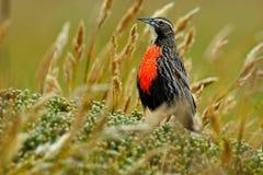 长尾的Meadowlark,雀形目鸟loyca falklandica,桑德斯海岛,福克兰群岛 从自然的野生生物场面 在t的红色鸟 库存照片