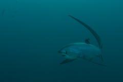 长尾鲨接近 免版税库存图片