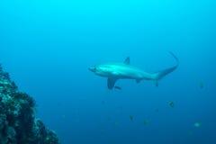 长尾鲨 库存图片