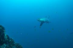 长尾鲨 免版税库存照片