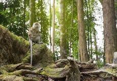 长尾巴在绿色森林围拢的支柱根的猴子就座 免版税库存照片