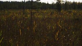 长得太大的沼泽的高芦苇、草和香蒲 免版税图库摄影