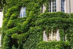 长得太大的窗口有常春藤背景 库存照片