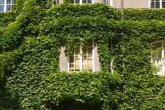 长得太大的窗口有常春藤背景 图库摄影