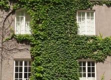 长得太大的窗口有常春藤背景 免版税库存照片
