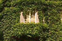 长得太大的窗口有常春藤背景 免版税库存图片