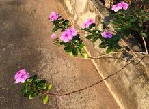 长春花属在街道上的种类花 免版税库存照片