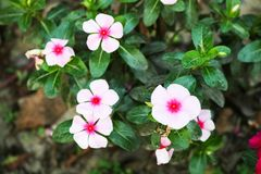 长春花属roseus,孟加拉国花园美丽的小的饼干花  免版税库存图片