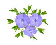 长春蔓或荔枝螺 背景查出的白色 免版税图库摄影