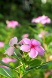长春蔓花开花适用于种植装饰庭院 免版税库存照片