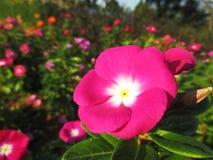 长春蔓,紫罗兰色花 免版税库存图片