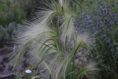 长有鬃毛的大麦 库存图片