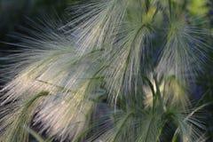 长有鬃毛的大麦 免版税库存图片