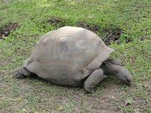 长期居住的草龟 图库摄影