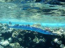 长期蓝色鱼 免版税库存照片