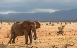 长期tusked红色大象 免版税库存图片