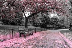 长木凳站立在樱桃树下 免版税库存照片