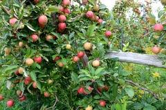 长木操刀与负担沉重苹果树分支 库存照片