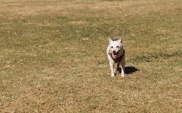年长杰克罗素狗 免版税库存照片
