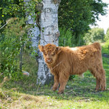 长毛小牛的母牛 库存图片