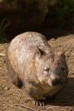 长毛成熟被引导的wombat 库存图片